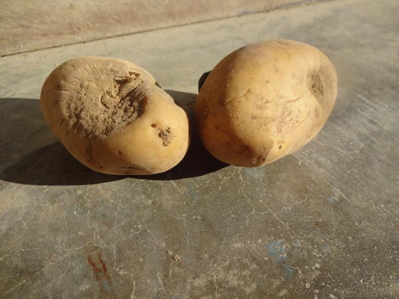 Évolution des cultures de pommes de terre 2017 Dsc00813