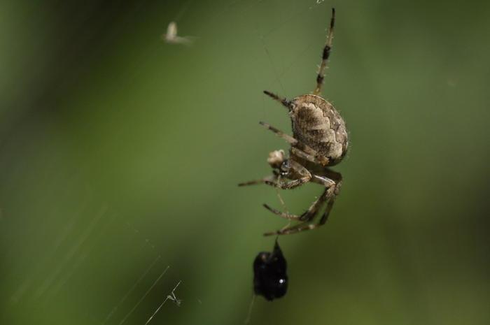 id - araignée... 1_dsc011