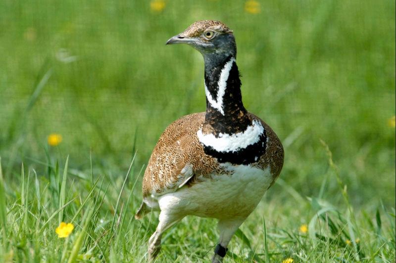 un oiseau - ajonc - 5 mai trouvé par Martine bravo Captu396