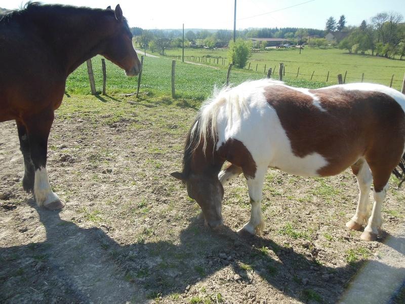 DUCc - ONC poney typé Shetland né en 1991 - adopté en mars 2015 par Joseph Dscn7330