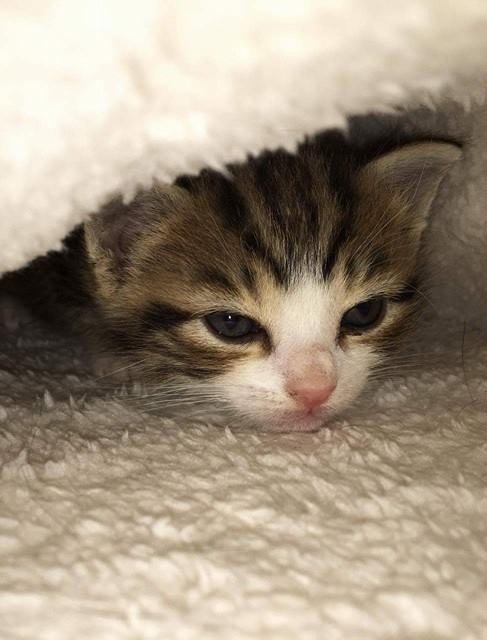 ABU et YAGO chatons de 3 semaines trouvés dans un carton Abu711
