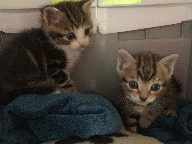 ABU et YAGO chatons de 3 semaines trouvés dans un carton Abu_et19