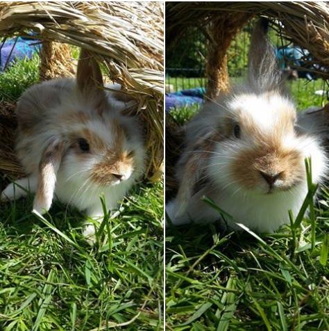 FUSHIA petite lapine Fushia12
