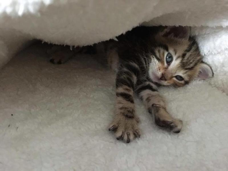 ABU et YAGO chatons de 3 semaines trouvés dans un carton Yago411
