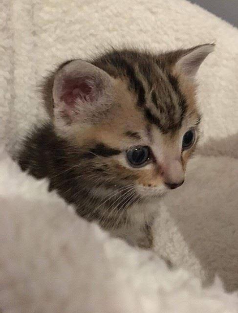ABU et YAGO chatons de 3 semaines trouvés dans un carton Yago511