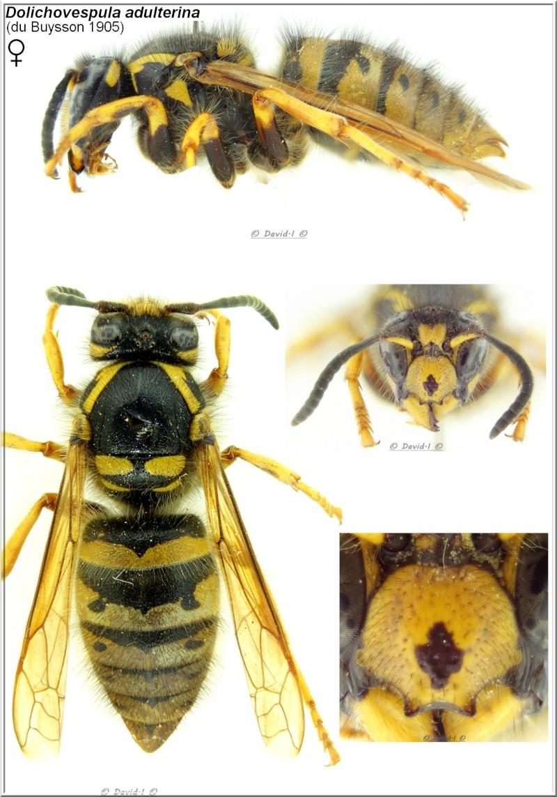 Dolichovespula adulterina (du Buysson 1905) Femelle Dolich10