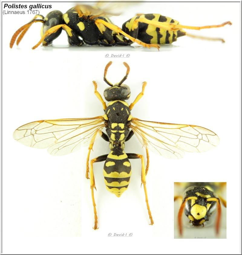 Polistes gallicus (Linnaeus 1767) Ouvrière Hym13_10