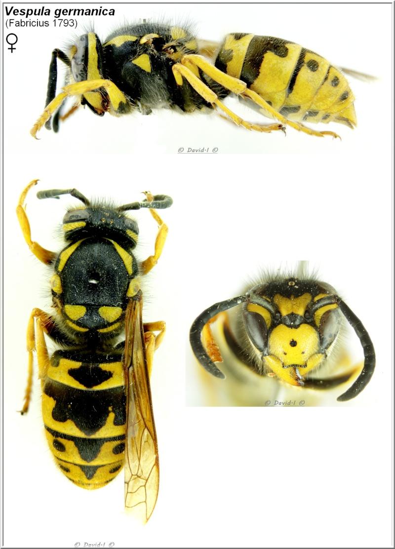 Vespula germanica (Fabricius 1793) Femelle Vespul11