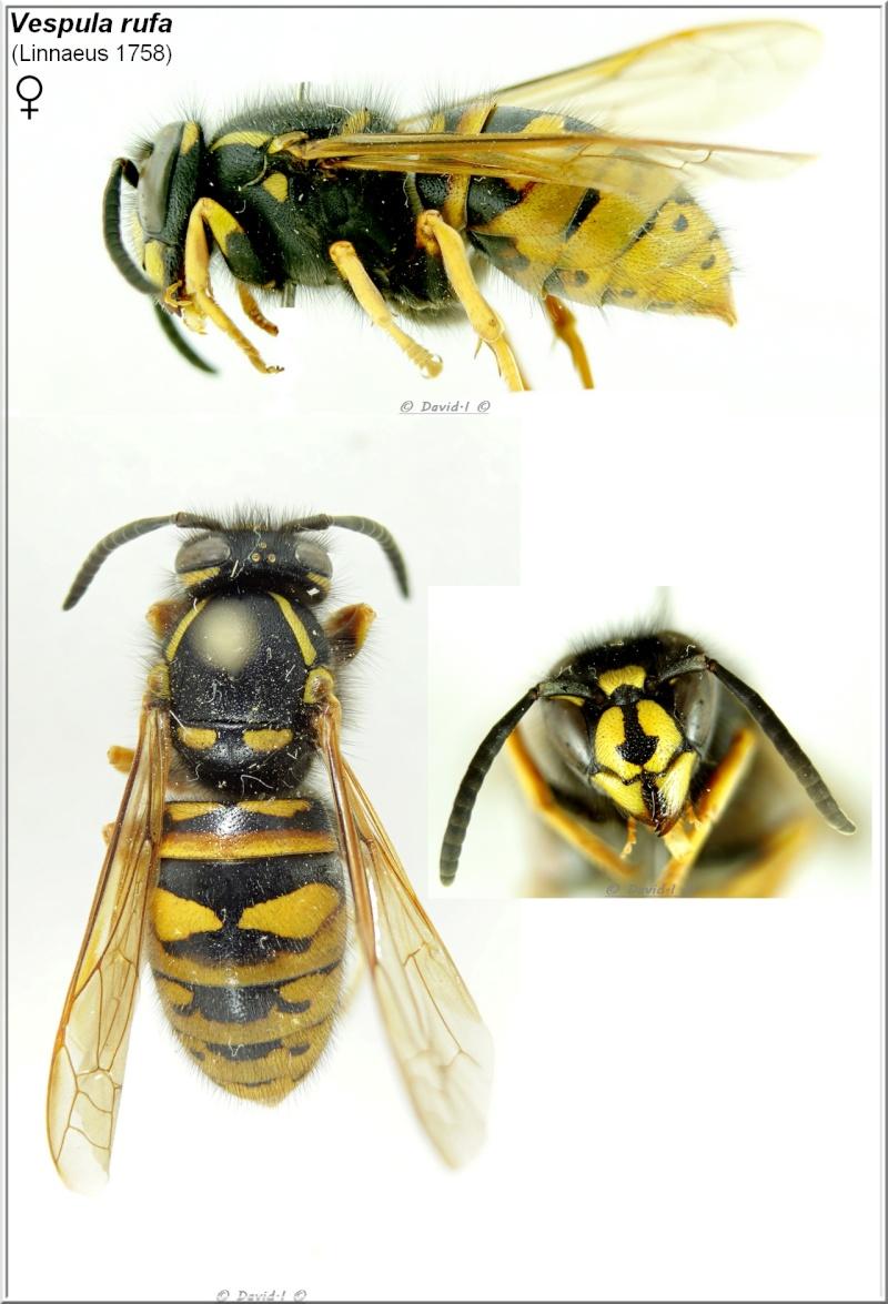 Vespula rufa (Linnaeus 1758) Femelle Vespul12