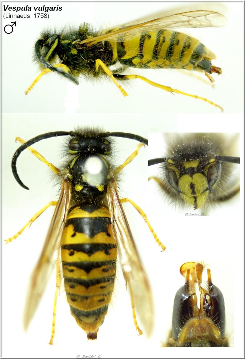 Vespula vulgaris  (Linnaeus, 1758) Mâle Vespul13