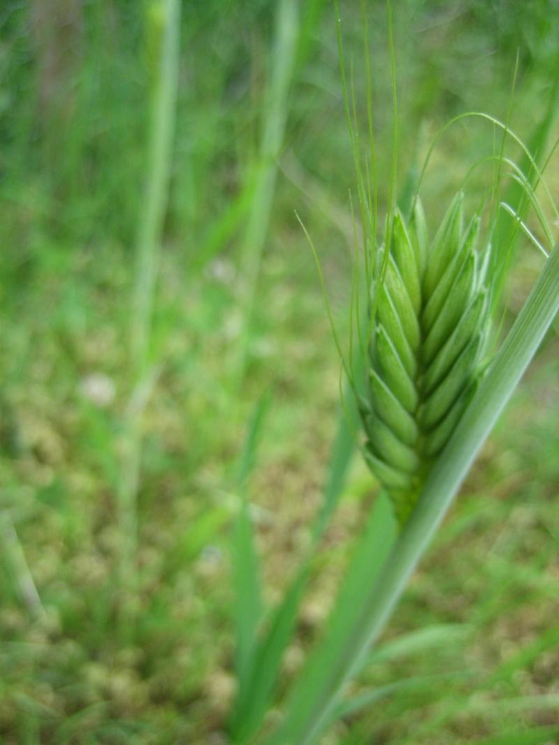 Les céréales de Nilda 1.0, par Malbiofe, sélection 2014, Nord Ouest, France. Img_2810