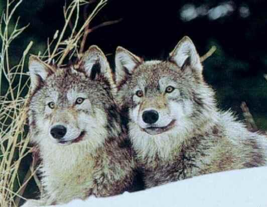 les renards  - Page 3 Loup10