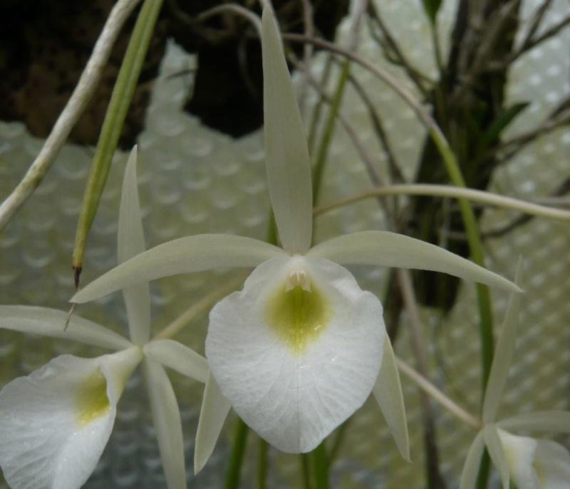 Calanthe hybride Brassa11