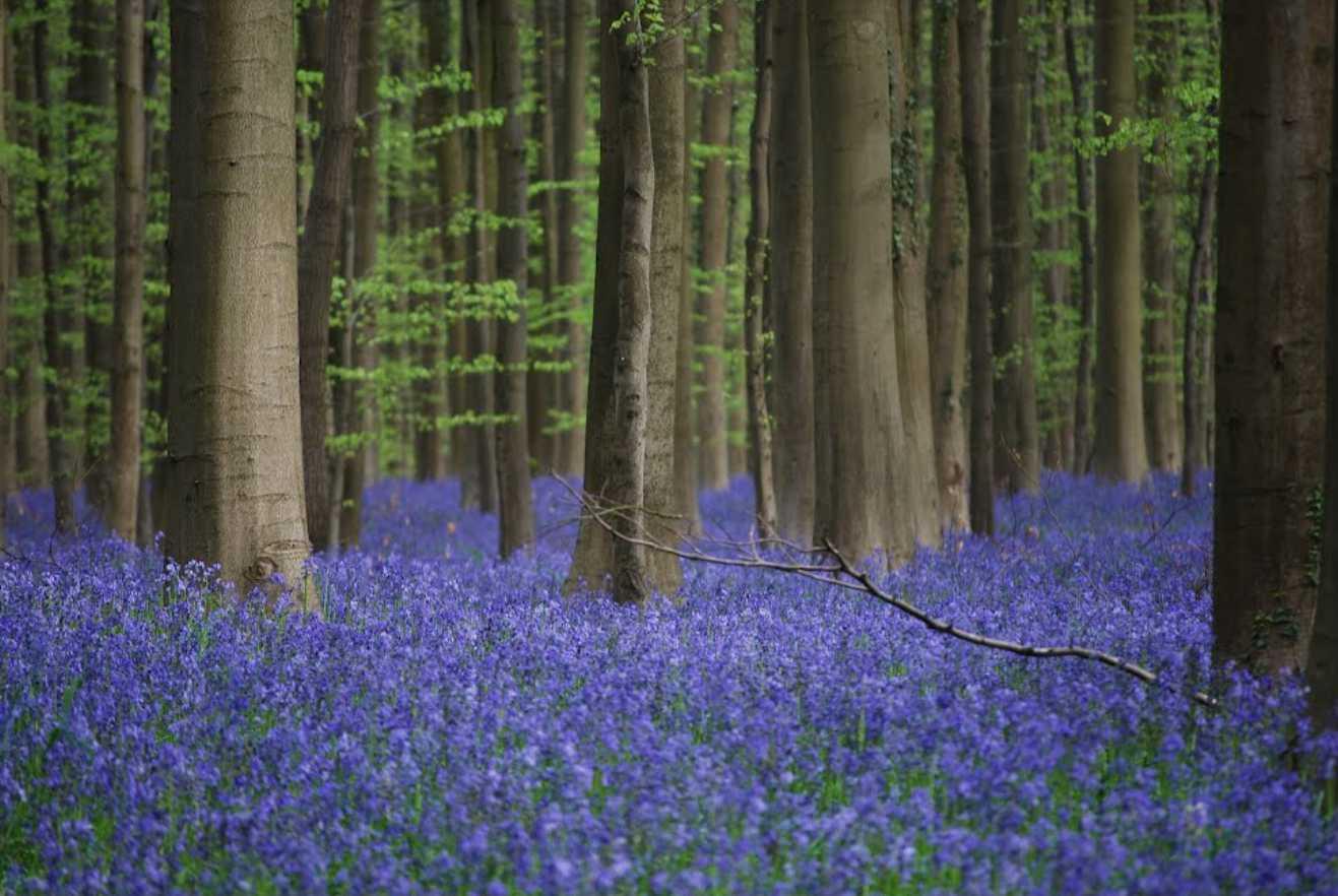 Forêt bleue - Bois de Hal - Hal - Belgique 2014-269