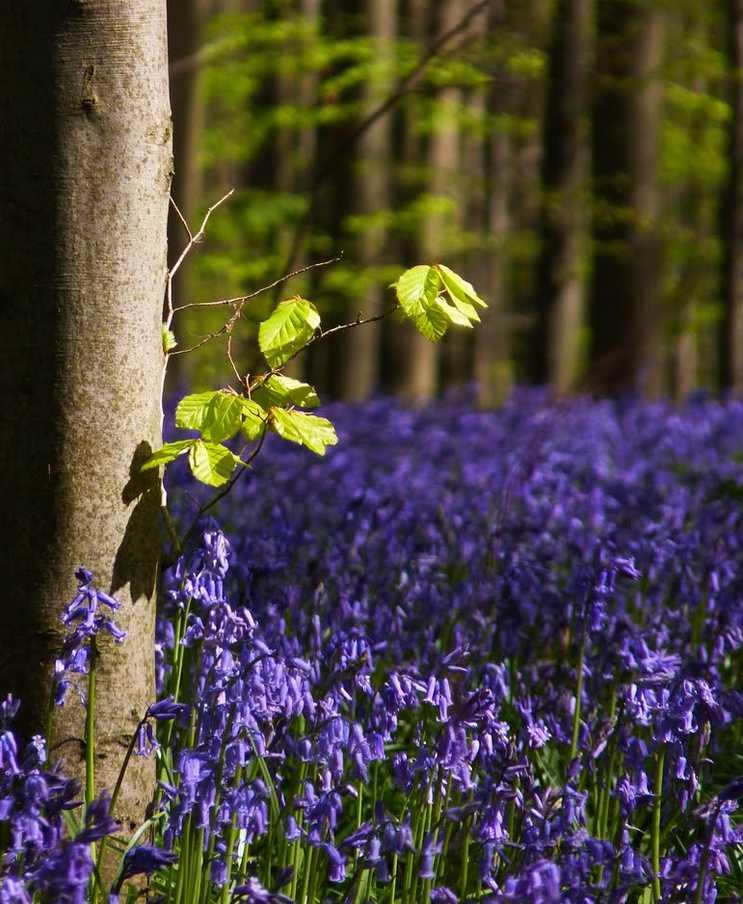 Forêt bleue - Bois de Hal - Hal - Belgique 2014-270