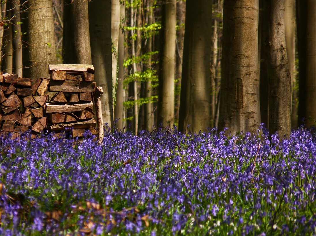 Forêt bleue - Bois de Hal - Hal - Belgique 2014-271