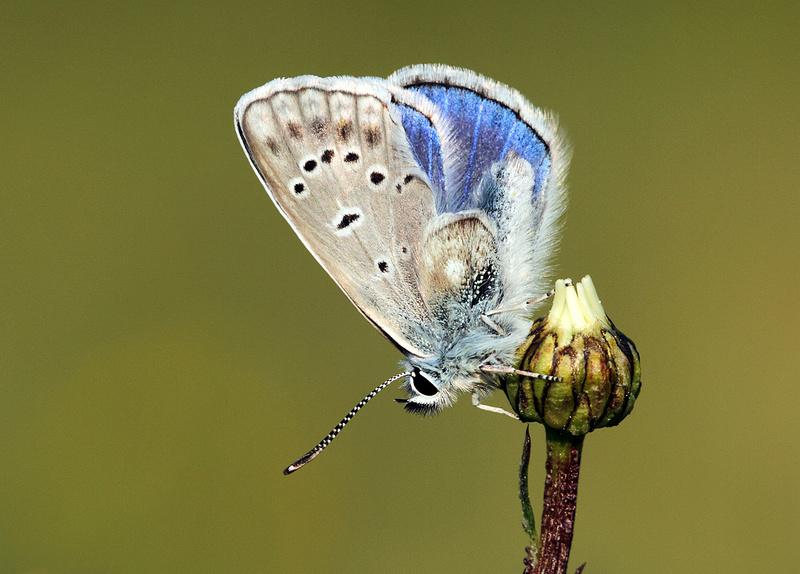 Azuré sp à trois ailes et demie Img_5910