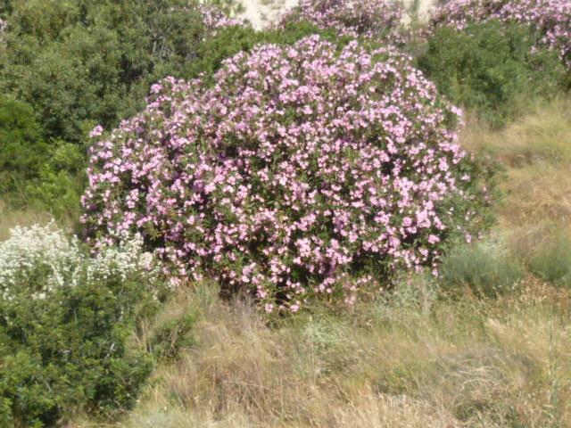 Nerium oleander - laurier rose - Page 2 1-p10824