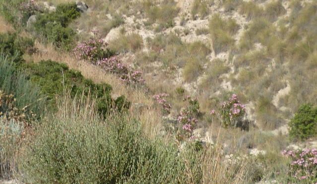 Nerium oleander - laurier rose - Page 2 1-p10825
