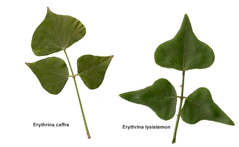 Erythrina caffra [Identification] Erythr10