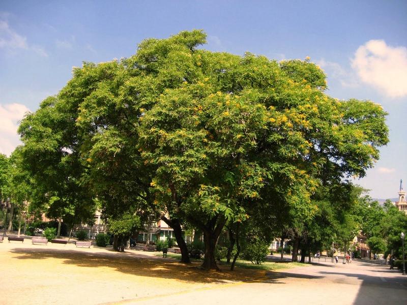 Tipuana tipu  Img_5711