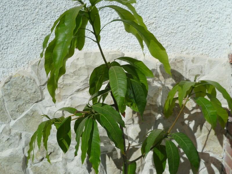 Mangifera indica - manguier P1080325