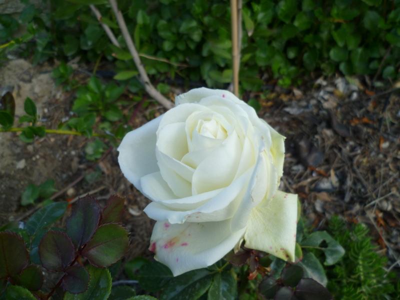 deux ou trois fleurs dans le vent - Page 4 P1080327