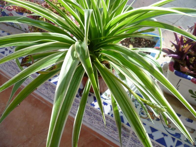 Chlorophytum, Ficus binnendijkii ? [identification non terminée] P1080331