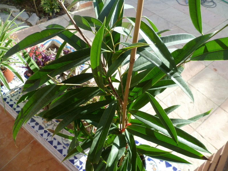 Chlorophytum, Ficus binnendijkii ? [identification non terminée] P1080332