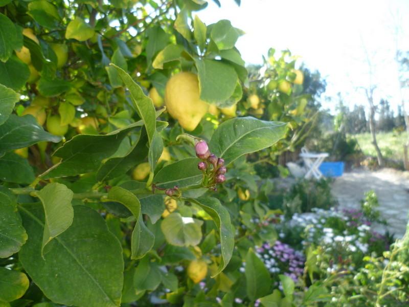 Citrus limon - citronnier des quatre saisons - Page 2 P1080339