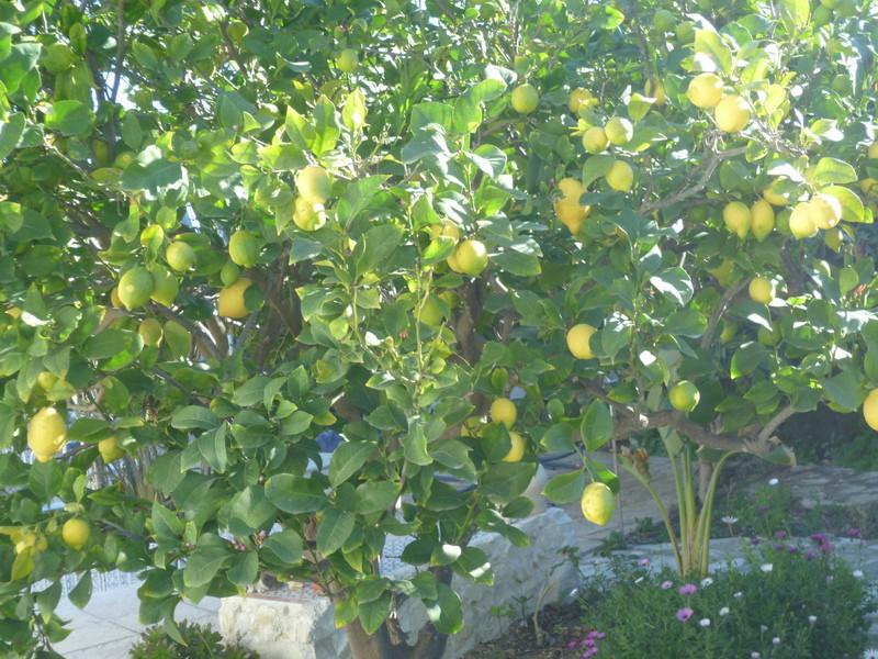 Citrus limon - citronnier des quatre saisons - Page 2 P1080340