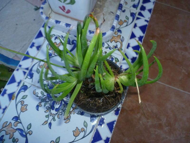 Bulbine frutescens et Grevillea robusta [Identification] P1080344