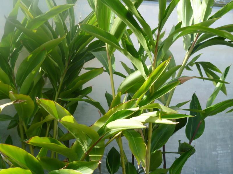 Alpinia sp. [Identification] P1080424