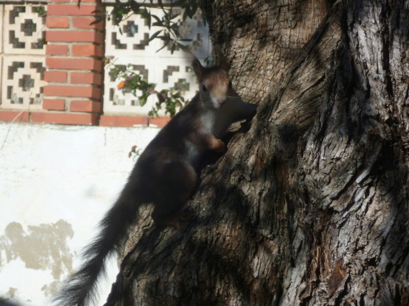 écureuil en visite journaliere P1080431