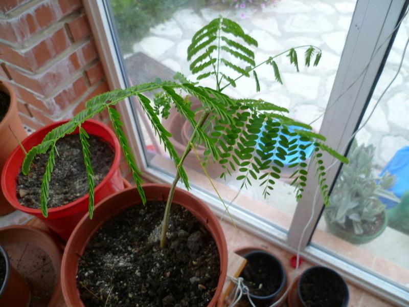 semis de Caesalpinioideae & Mimosoideae P1080432