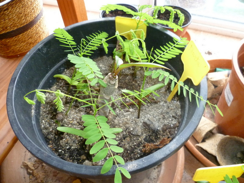 semis de Caesalpinioideae & Mimosoideae P1080433