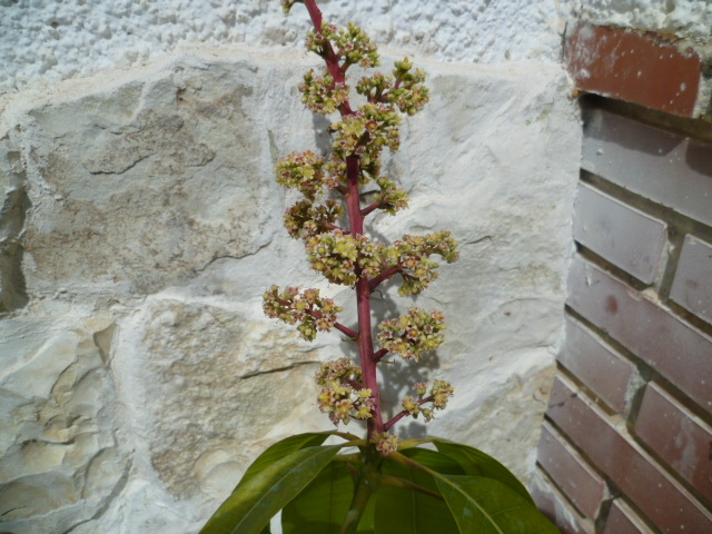 Mangifera indica - manguier - Page 2 P1080517