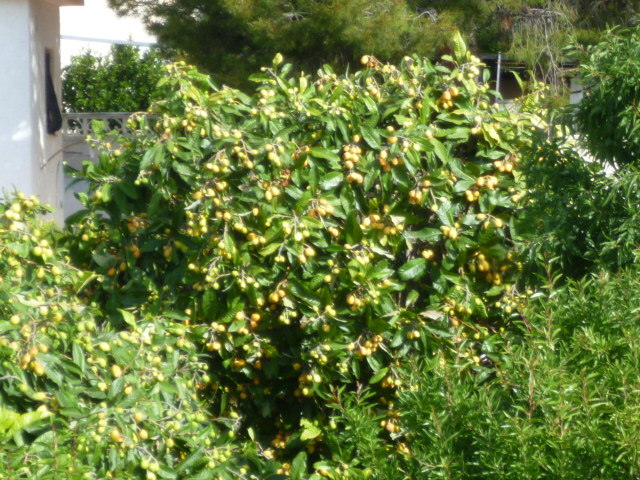 Eriobotrya japonica - bibacier, néflier du Japon - Page 3 P1080519