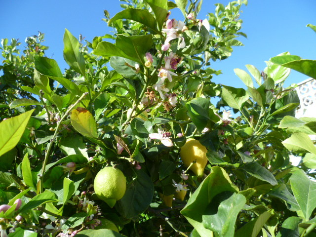 Citrus limon - citronnier des quatre saisons - Page 2 P1080529