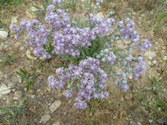 Teucrium sp., Bitumaria bituminosa, Helianthemum sp. [identifications non terminées] P1080530