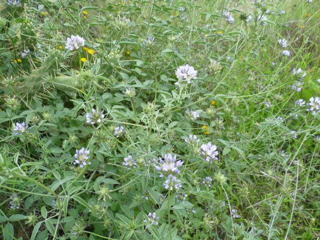 Teucrium sp., Bitumaria bituminosa, Helianthemum sp. [identifications non terminées] P1080531
