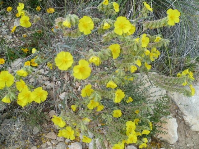 Teucrium sp., Bitumaria bituminosa, Helianthemum sp. [identifications non terminées] P1080532