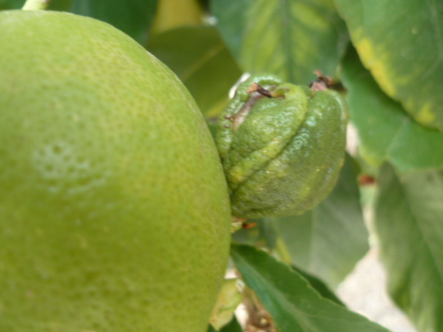 Citrons difformes P1080624