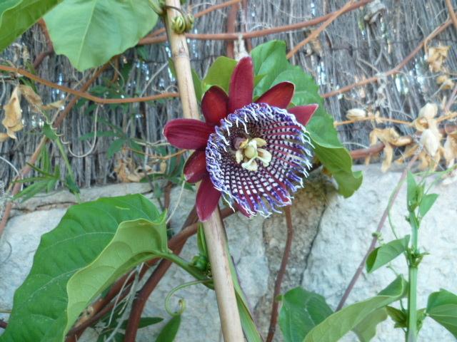 Passiflora quadrangularis et son hybride x Decaisnea P1080626