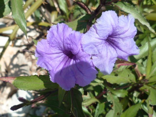 ces quelques fleurs de nos jardins P1080629