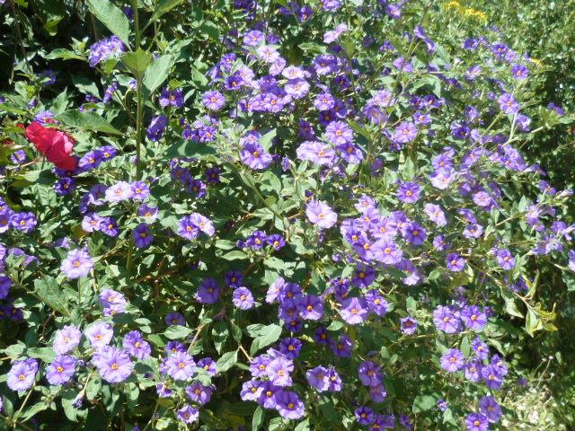ces quelques fleurs de nos jardins P1080630
