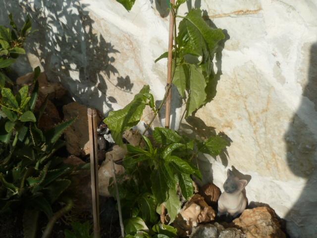 Passiflora 'Byron Beauty' - Page 3 P1080632