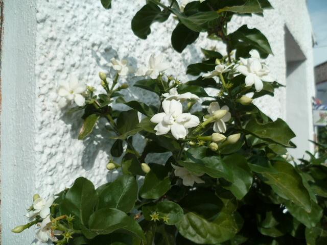 ces quelques fleurs de nos jardins P1080634
