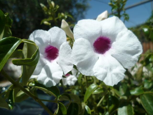 Pandorea jasminoides et Pandorea pandorana P1080639