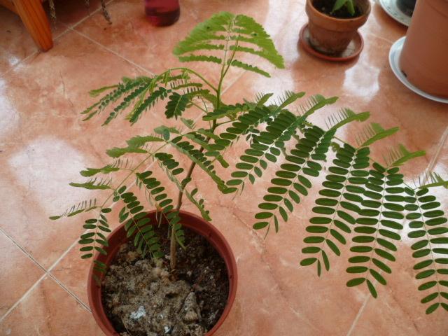 semis de Caesalpinioideae & Mimosoideae - Page 2 P1080651